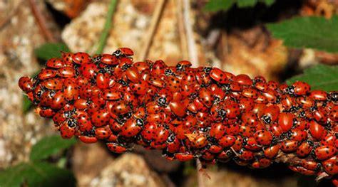 beautiful ladybugs xcitefunnet