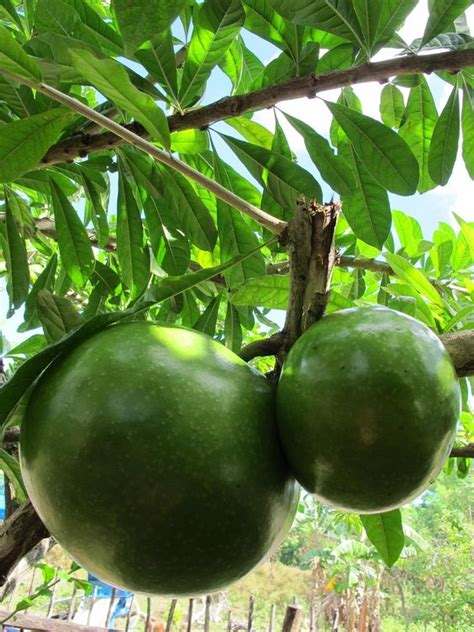 Calabash Tree Fruits (crescentia Cujete) Stvincent&the
