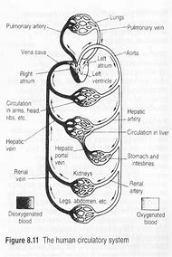 Best Circulatory System - ideas and images on Bing | Find what you ...