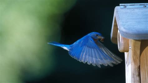Here are only the best phoenix bird wallpapers. Blue Bird Wallpaper (68+ images)