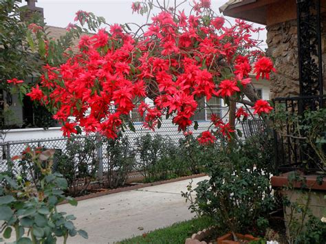 poinsettia growing  display tips