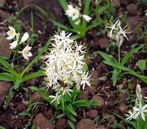 Safed Musli Root Pieces Chlorophytum Borivilianum