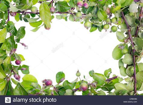 Isolierte Rahmen Von Echten Apple Zweige Mit Blättern Und