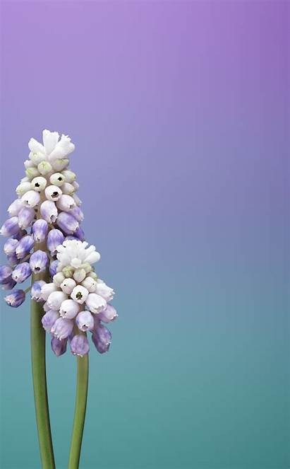 Flower Ios Iphone Muscari Touch Ipod 5s