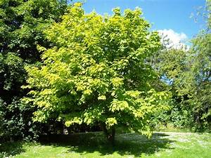 maple - Wiktionary  Maple