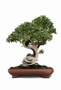 Bonsai Arten Für Anfänger : die besten bonsai f r einsteiger tipps zu pflege standort ~ Sanjose-hotels-ca.com Haus und Dekorationen