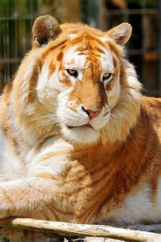 Golden Tiger Tabby Strawberry
