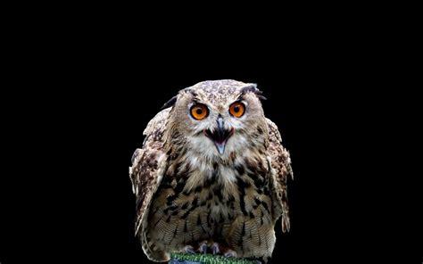 Black Owl Wallpapers by Birds Harry Potter Owls Black Background Wallpaper