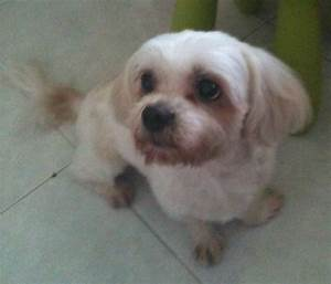 Reward for Missing Mixed Breed of Maltese and Shih Tzu Dog ...