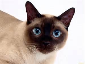 tonkinese cats tonkinese cat active and intelligent cat dinoanimals