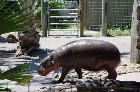 pygmy hippo   month  fieldwork   usa ibream