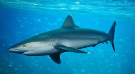 shark fish shark types and facts