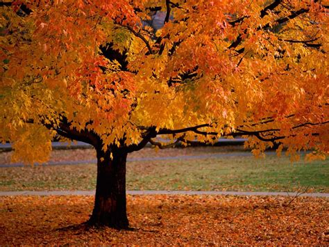 fall trees scenery pics images trees in autumn hd wallpaper and background photos 22174534