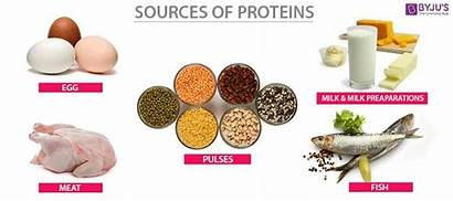 Proteins Sources Biology Protein Structure Functions Synthesis
