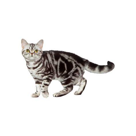 Amerikas īsspalvainais kaķis (American Shorthair ...