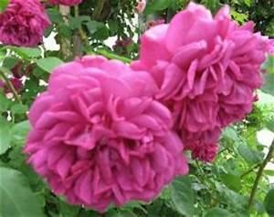 Alte Rosensorten Stark Duftend : rosensorten duftrosen th thalia thanksgiving the ~ Michelbontemps.com Haus und Dekorationen