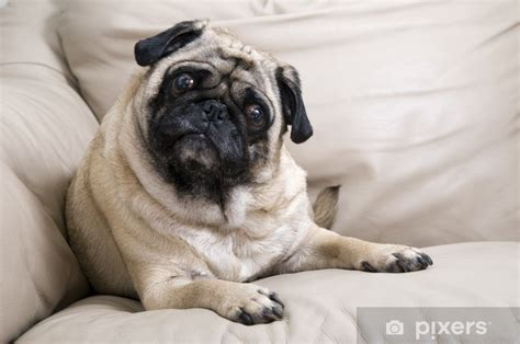pug laying  leather couch wall mural pixers