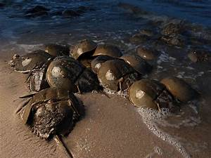 What The Vampire Said To The Horseshoe Crab: 'Your Blood ...