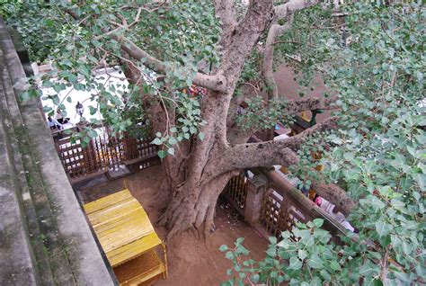 where can i buy a bodhi tree the holy bodhi tree in bodh gaya swami ji