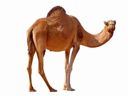 Camel Desert Transparent Clipart Camello Standing Animal