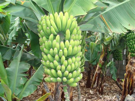 cuisine banane plantain madeintogo banane