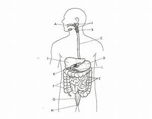 Digestive System Diagram No Labels