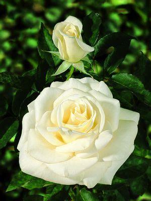 john kennedy rosa hybrid tea john kennedy regan nursery