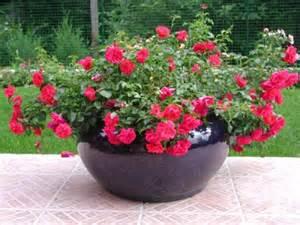 rosiers en pot comment les entretenir roses guillot