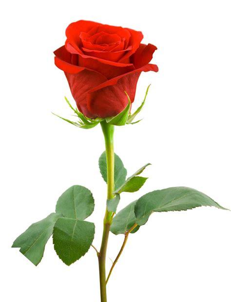 koleksi gambar foto bunga mawar cantik indah unik keren