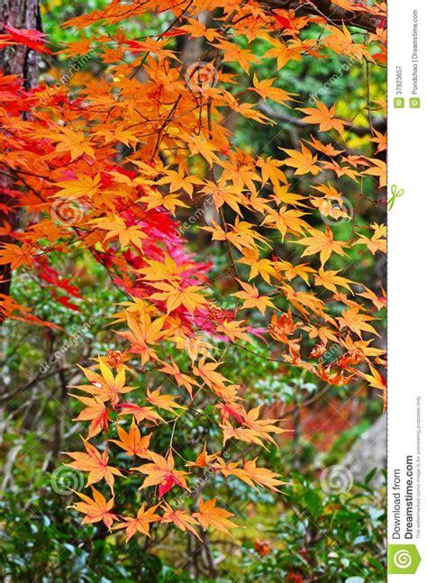 arbre d 233 rables orange photographie stock libre de droits
