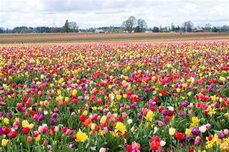 tulips festival in usa tulip festival wiki everipedia