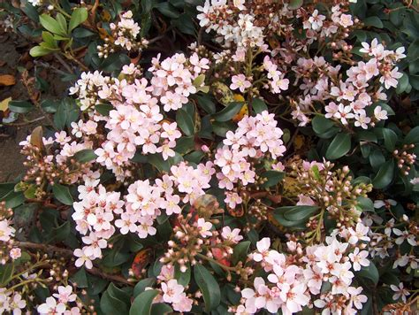 flowering evergreens indian hawthorn raphiolepis indica evergreen small flowering shrub flower colours ranging