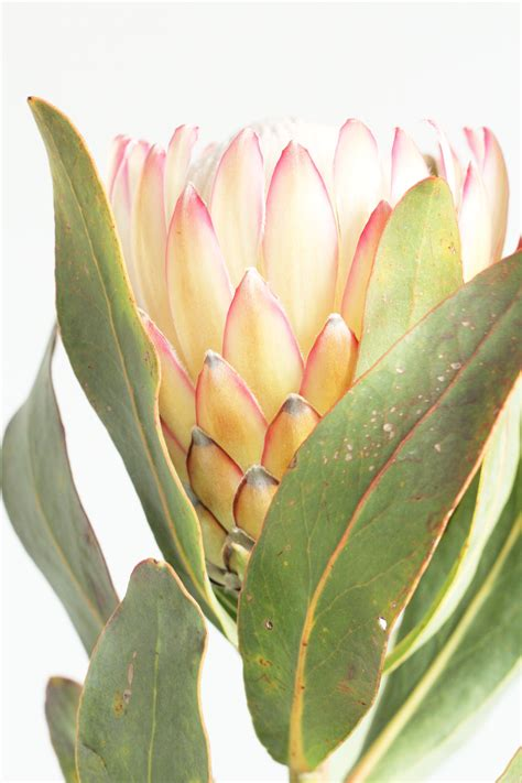 protea flower wall art print australian native flowers