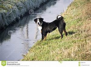 Appenzeller Sennenhund Stock Photo - Image: 42881919
