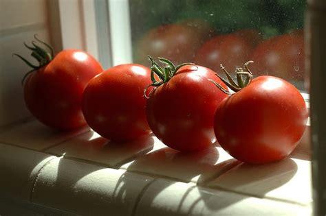 Windowsill Tomatoes by Estelle S Woodsmoke In The Wind