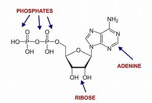 Ribose Creates Atp   Energy