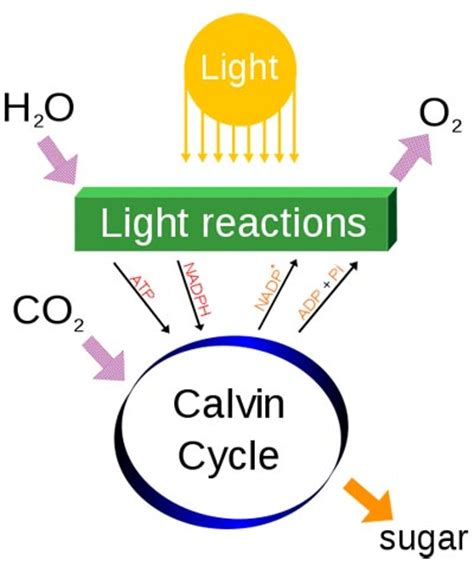 dependent definition what is photosynthesis Light