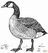 Coloring Pages Goose Canada Printable Paper Drawing sketch template