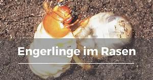 Was Tun Gegen Kellerasseln Im Garten : engerlinge im rasen garten schule ~ Lizthompson.info Haus und Dekorationen