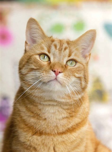 8 Fun Facts About Ginger Tabby Cats Cole And Marmalade
