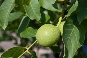 Walnussbaum Selber Pflanzen : walnussbaum pflanzen so geht s ~ Michelbontemps.com Haus und Dekorationen