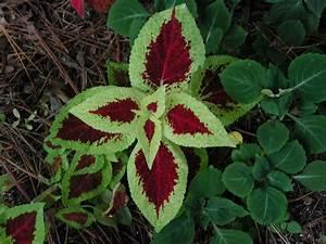 Beautiful, Coleus, Leaves