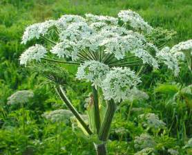 edible glasses cow parsnip a useful edible plant preparedness