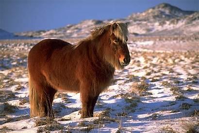 Islandpferd Dickes Winterfell
