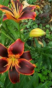 17 Best images about Lily Lilium on Pinterest | Asiatic ...