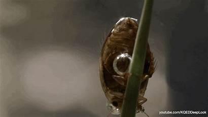 Bubble Under Beetle Diving Breathe Beetles Predaceous
