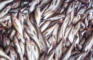 Job For Customer Service New Dna Research Changes Alaska Pollock Classification