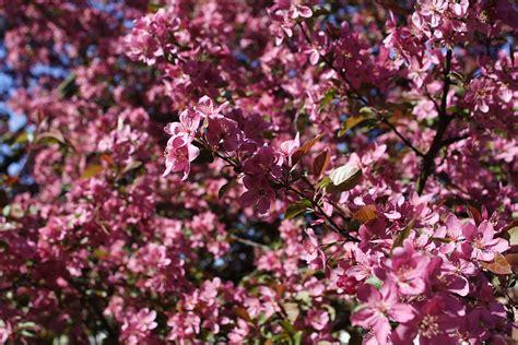 tree with pink flowers name file pink tree flowers spring west virginia forestwander jpg wikimedia commons