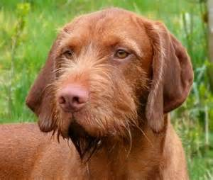 When Do Vizslas Shed Their Puppy Coat by Belatarr Hungarian Wirehaired Vizsla It S A Thing