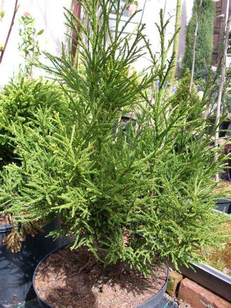 cryptomeria japonica gracilis ogr 211 d rozmaitości marzena i dariusz burdan